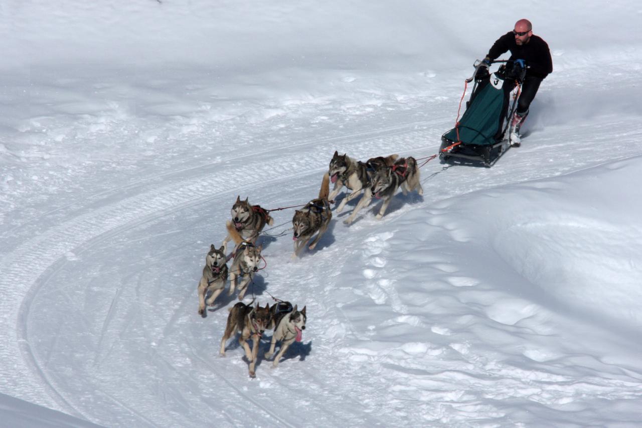course chiens de traineaux