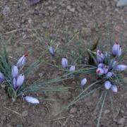 Bouquet de crocus